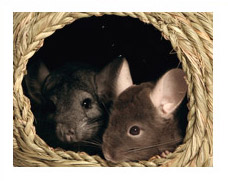 Chinchilla General Information